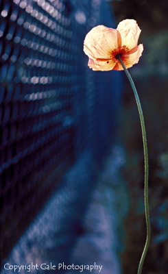 """The Poppy"" by Gale Photography"