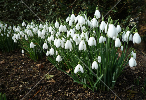 """Snowdrops"" by Gale Photography"