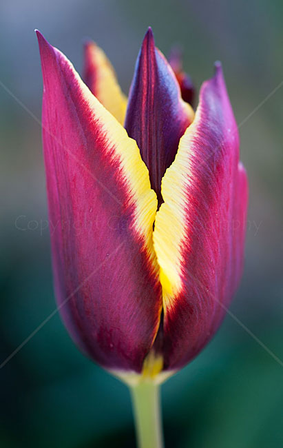 """Shady  tulip"" by Derek Gale"