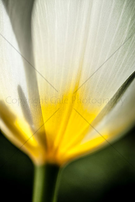 """Backlit tulip"" by Derek Gale"