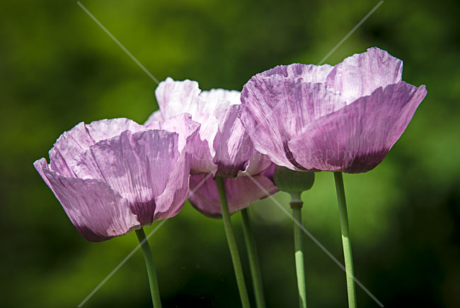 """Long lens poppies"""