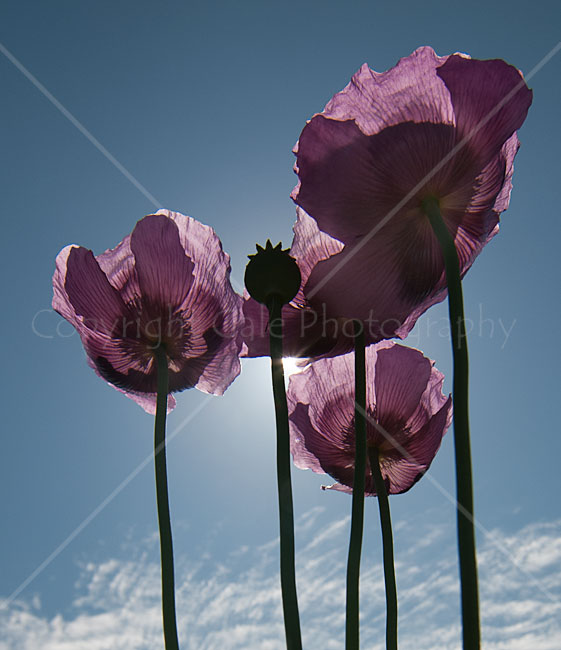 """Low angle long-lens  poppies"""