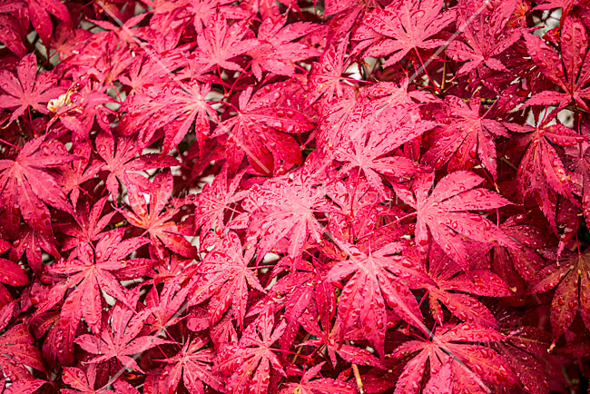 """Japanese maple"""