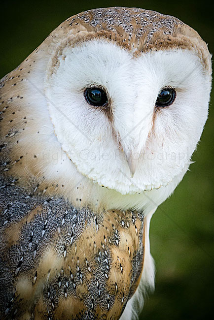"""Barn owl portrait"""