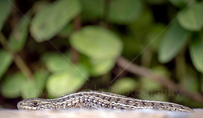 """Lizard in Stellenbosch"""